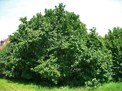 Theo dấu hiệu hoàng đạo Celtic, loài cây sinh mệnh của bạn là gì? - 8
