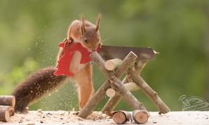 Ảnh sóc hoang cần mẫn làm việc nhà sẽ khiến bạn 'lịm tim'