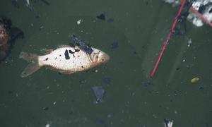 Vừa được phóng sinh, cá chép đã 'chầu trời' trên mặt hồ ô nhiễm