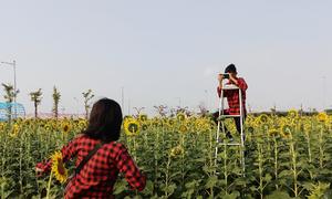 Đồng hoa hướng dương ở Sài Gòn hút giới trẻ 'sống ảo'