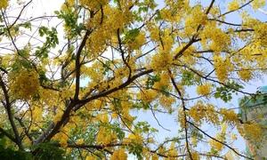 Sắc vàng mê hoặc của loài hoa xuân nở muộn trên phố Sài Gòn