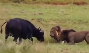 Trâu mẹ đưa thân làm mồi cho sư tử để cứu con