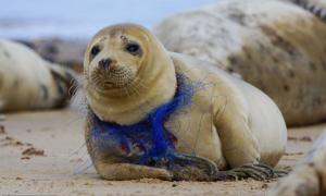 Chú hải cẩu bị lưới đánh cá siết cổ đến rớm máu