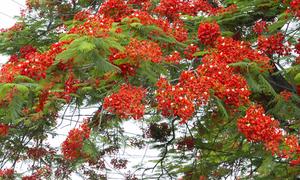 Hoa phượng đỏ rực khắp Hà Nội