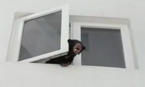 Ca sĩ Malaysia mang gấu về nhà nuôi vì 'nhầm' là chó