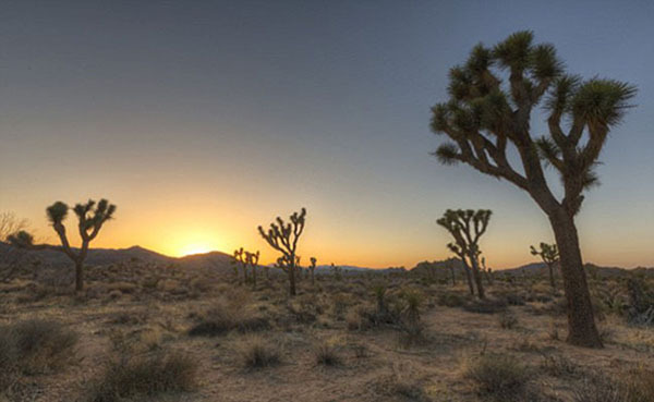 Cây Joshua thuộc họ xương rồng là loài cây đặc trưng ở hoang mạc này. Loài cây này cao từ 4 - 12 m, mất khoảng 50-60 năm để phát triển trưởng thành. Tính đến nay, cây sống lâu nhất được ghi nhận là 150 năm.