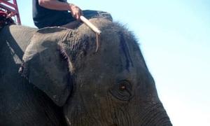 Hình ảnh bạo hành voi đau đớn khiến Thái Lan kêu gọi ngừng cưỡi voi