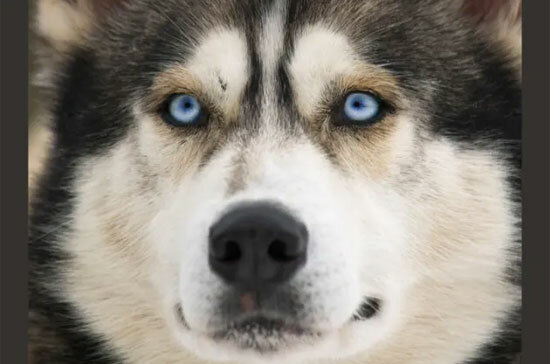 Đâu là chú cún con của giống chó này?