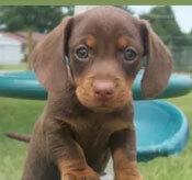 Đâu là chú cún con của giống chó này? - 34