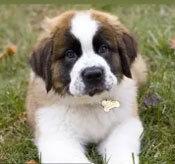 Đâu là chú cún con của giống chó này? - 3