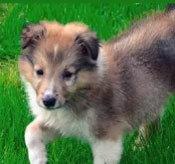Đâu là chú cún con của giống chó này? - 4