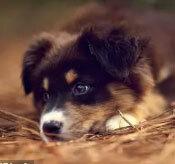 Đâu là chú cún con của giống chó này? - 5