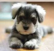 Đâu là chú cún con của giống chó này? - 13