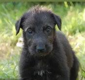 Đâu là chú cún con của giống chó này? - 14
