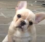 Đâu là chú cún con của giống chó này? - 20