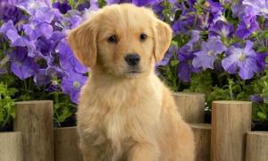 Đâu là 'phiên bản bé con' của giống chó này?